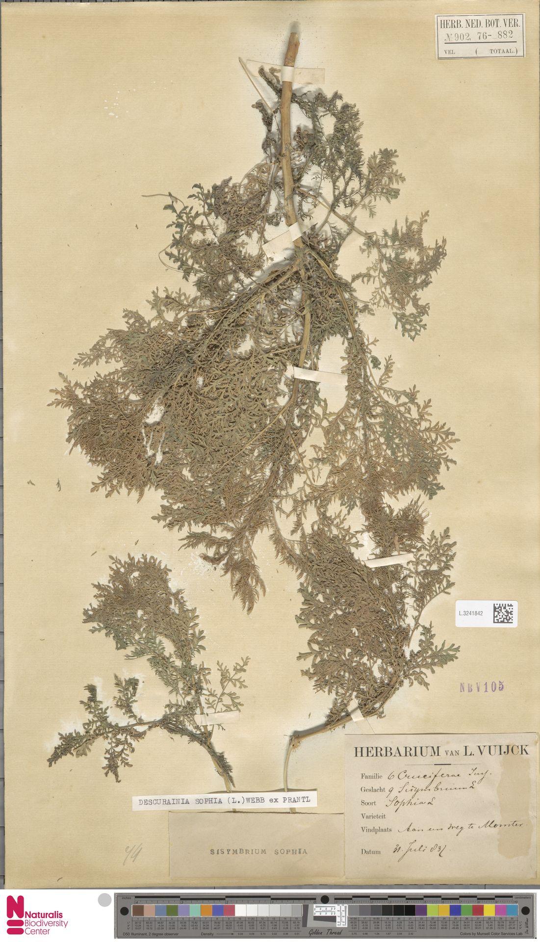 L.3241842 | Descurainia sophia (L.) Webb ex Prantl