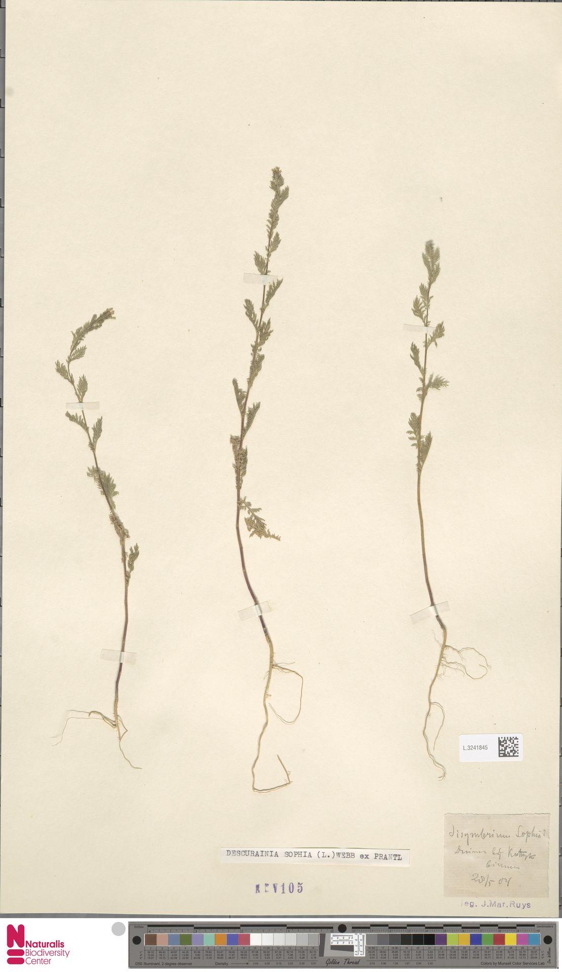 L.3241845 | Descurainia sophia (L.) Webb ex Prantl