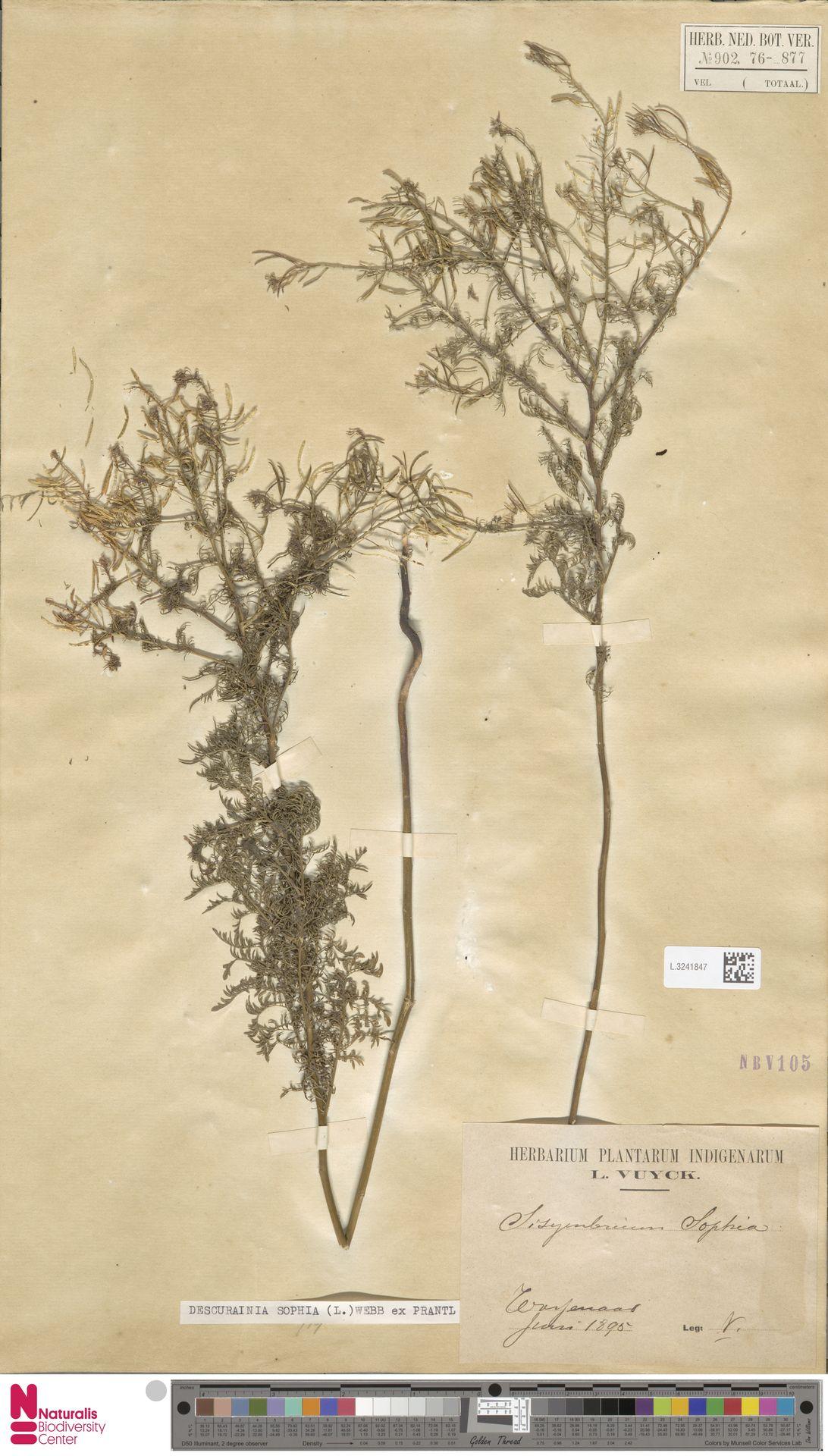 L.3241847   Descurainia sophia (L.) Webb ex Prantl