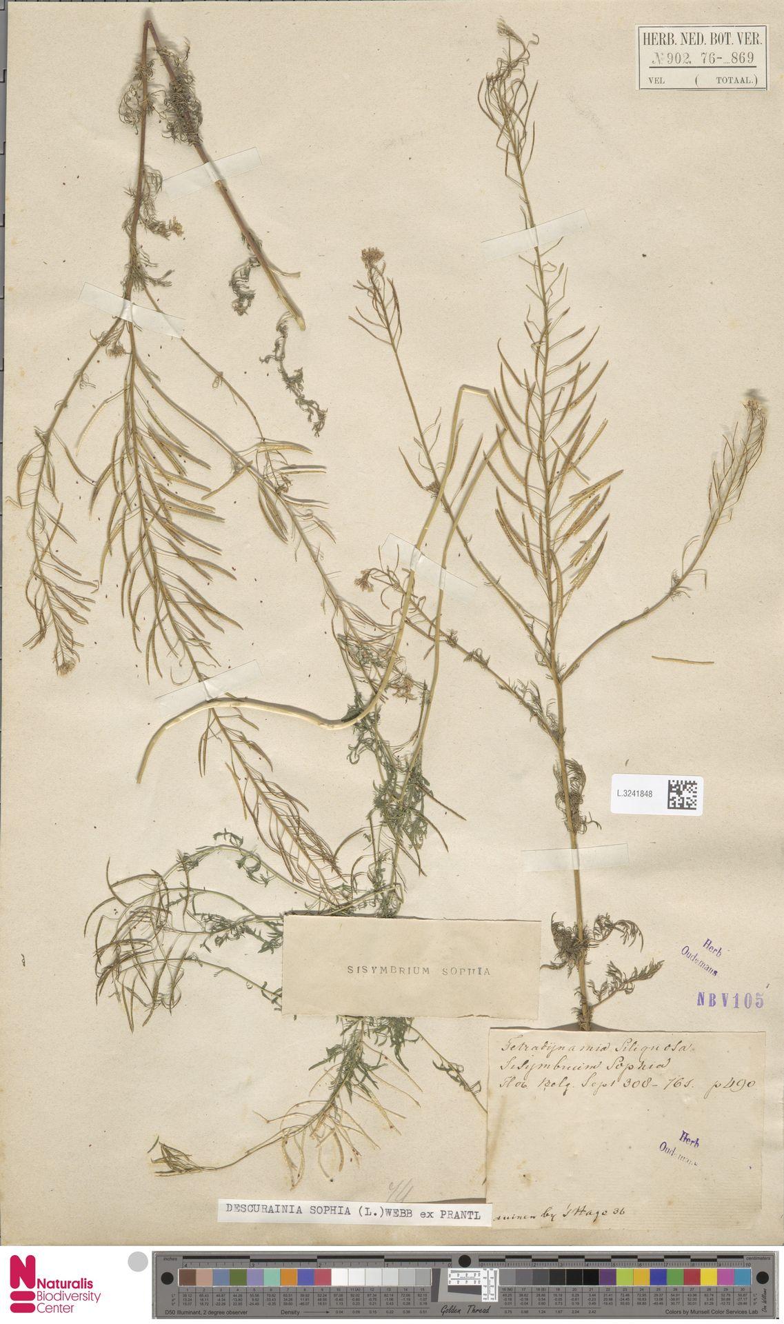 L.3241848 | Descurainia sophia (L.) Webb ex Prantl