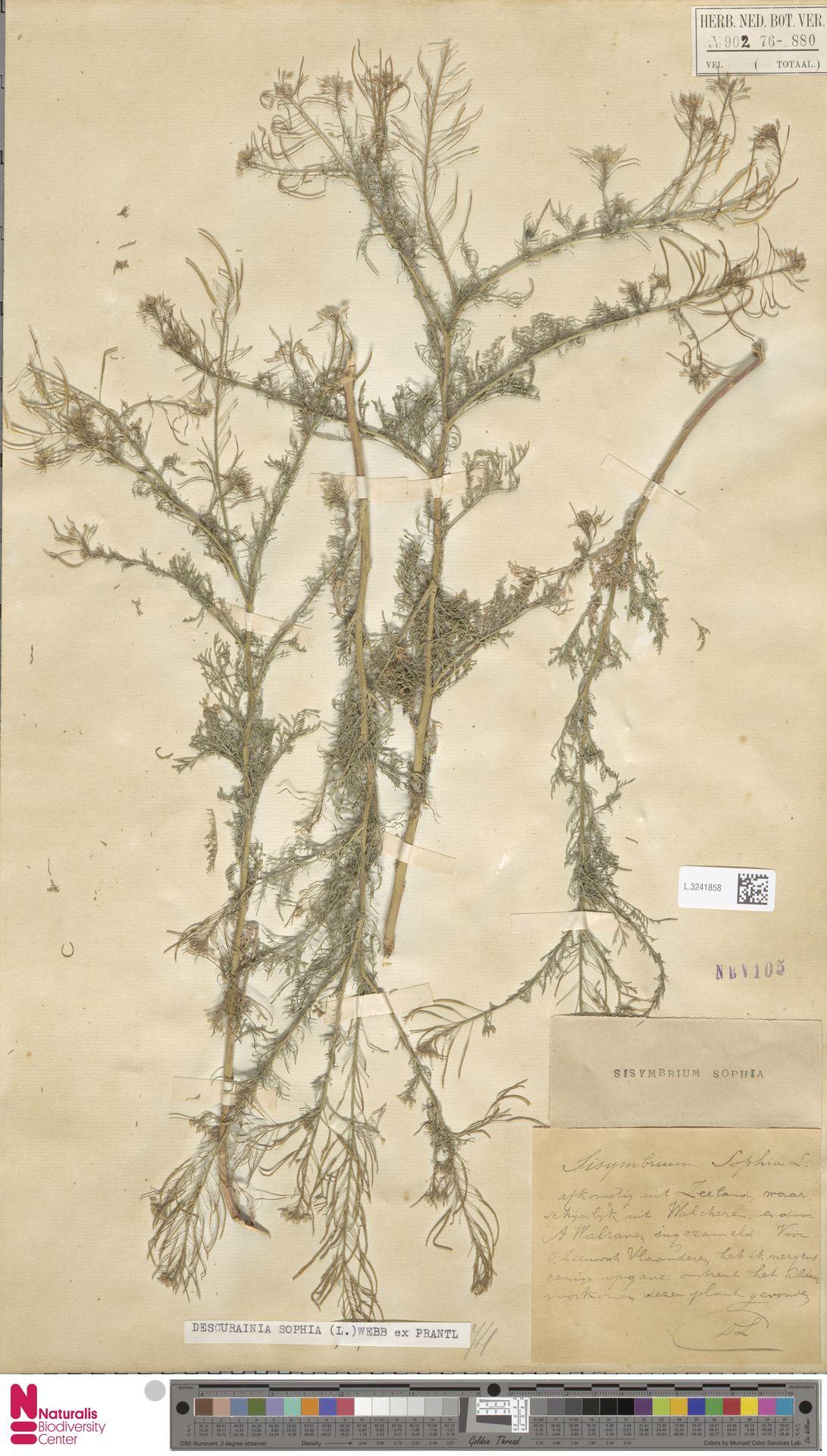 L.3241858 | Descurainia sophia (L.) Webb ex Prantl