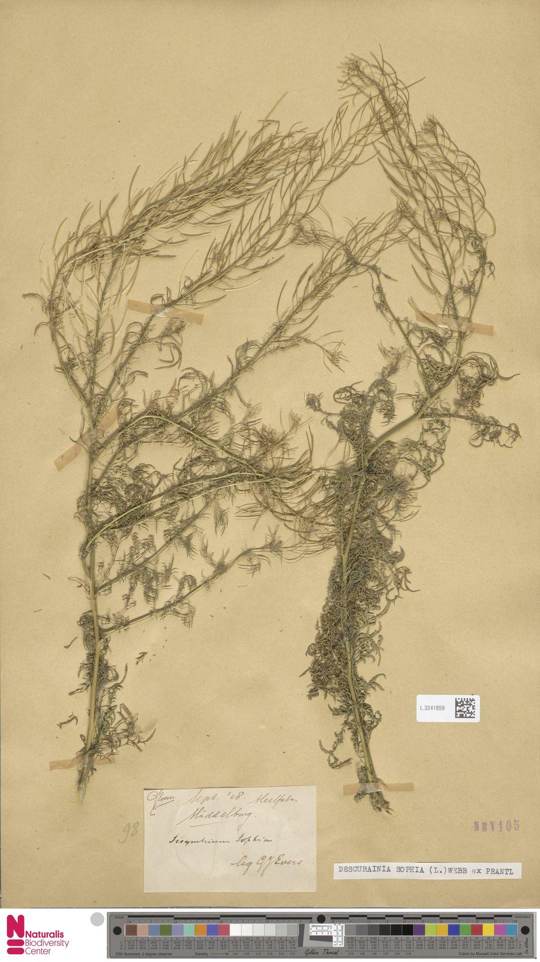 L.3241859 | Descurainia sophia (L.) Webb ex Prantl