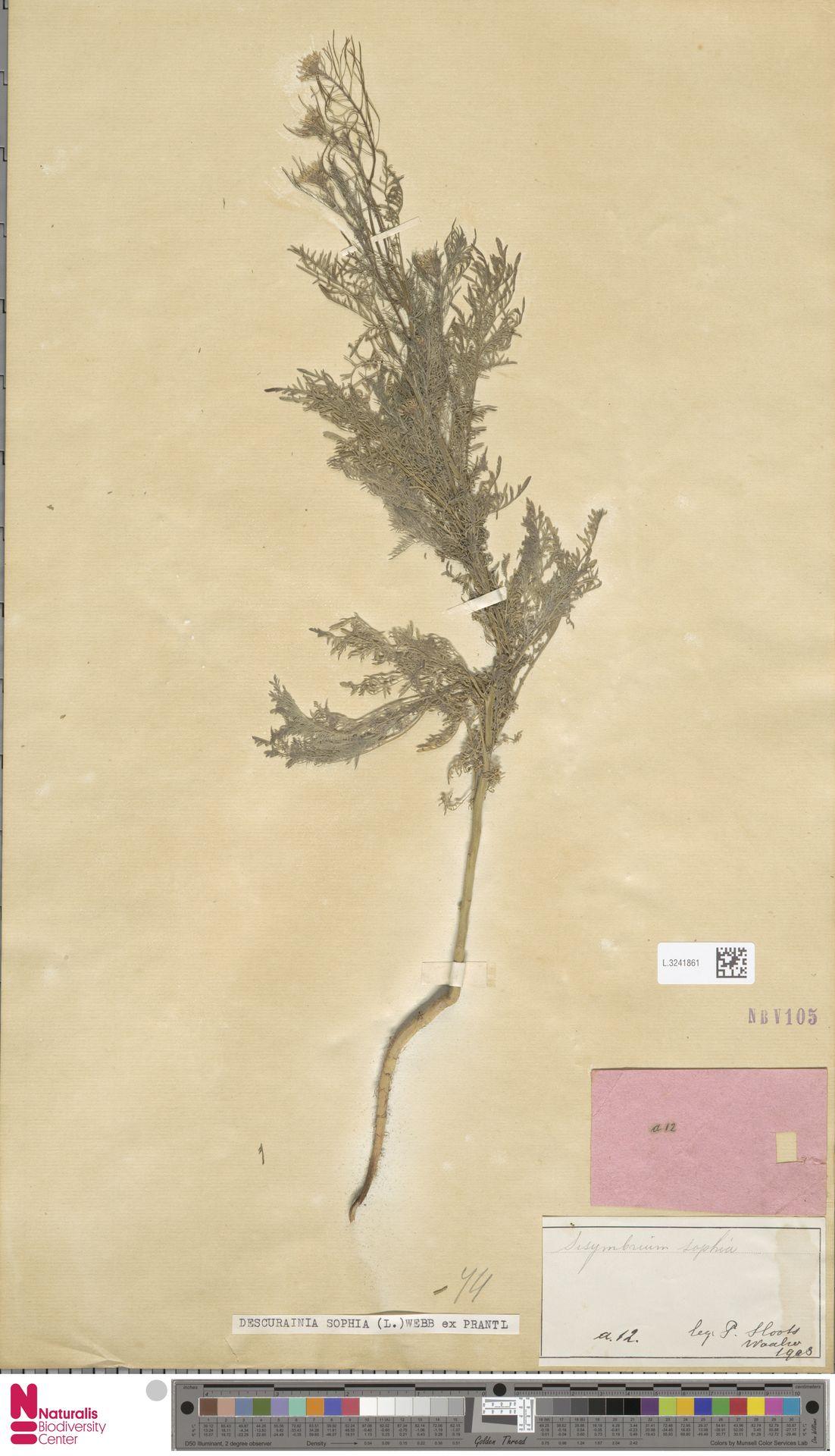 L.3241861 | Descurainia sophia (L.) Webb ex Prantl