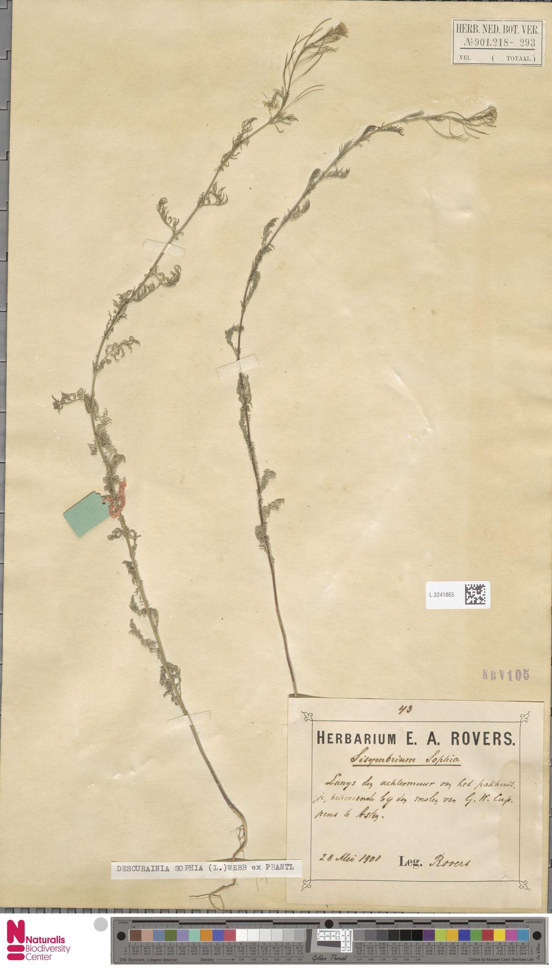 L.3241865 | Descurainia sophia (L.) Webb ex Prantl