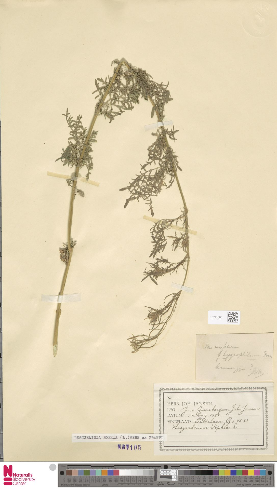 L.3241866 | Descurainia sophia (L.) Webb ex Prantl