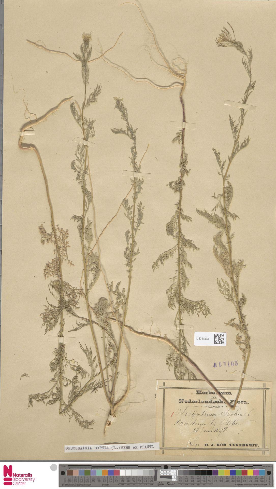 L.3241873 | Descurainia sophia (L.) Webb ex Prantl