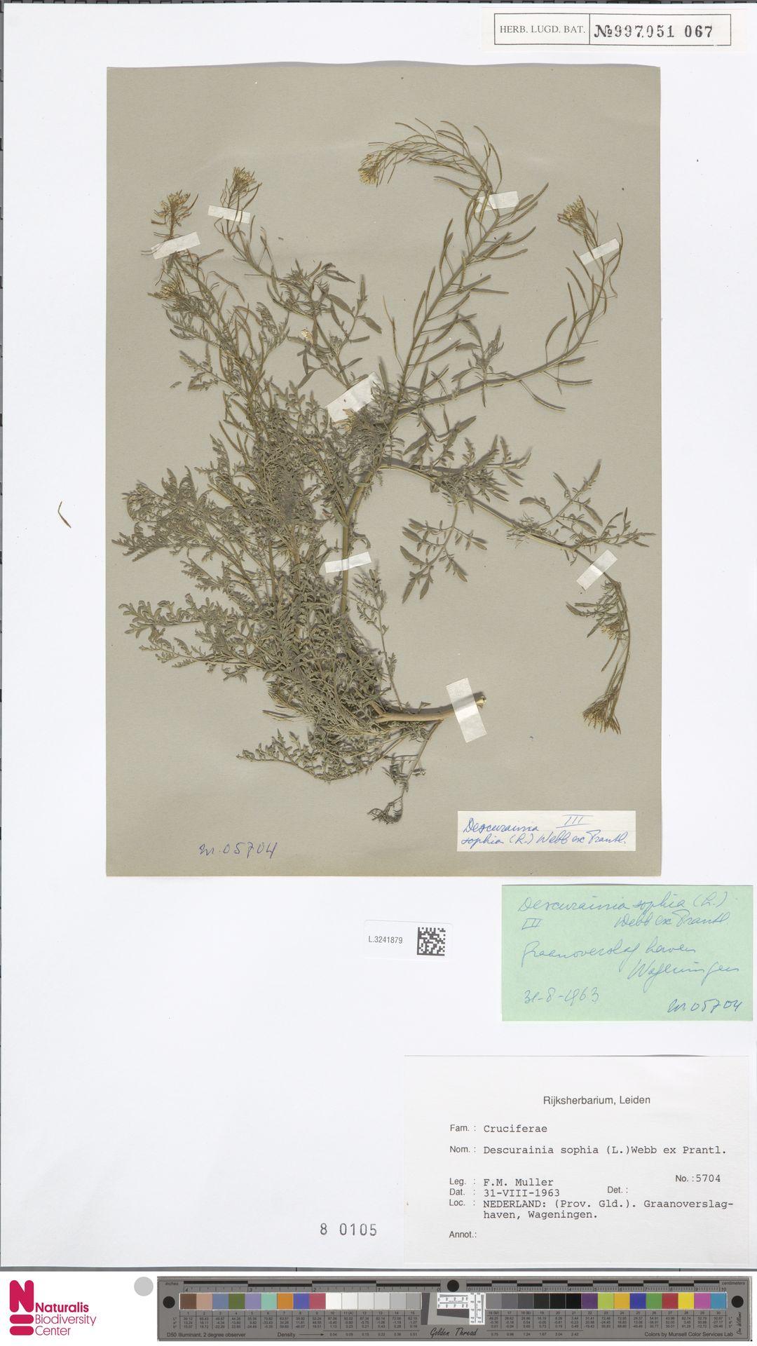 L.3241879 | Descurainia sophia (L.) Webb ex Prantl