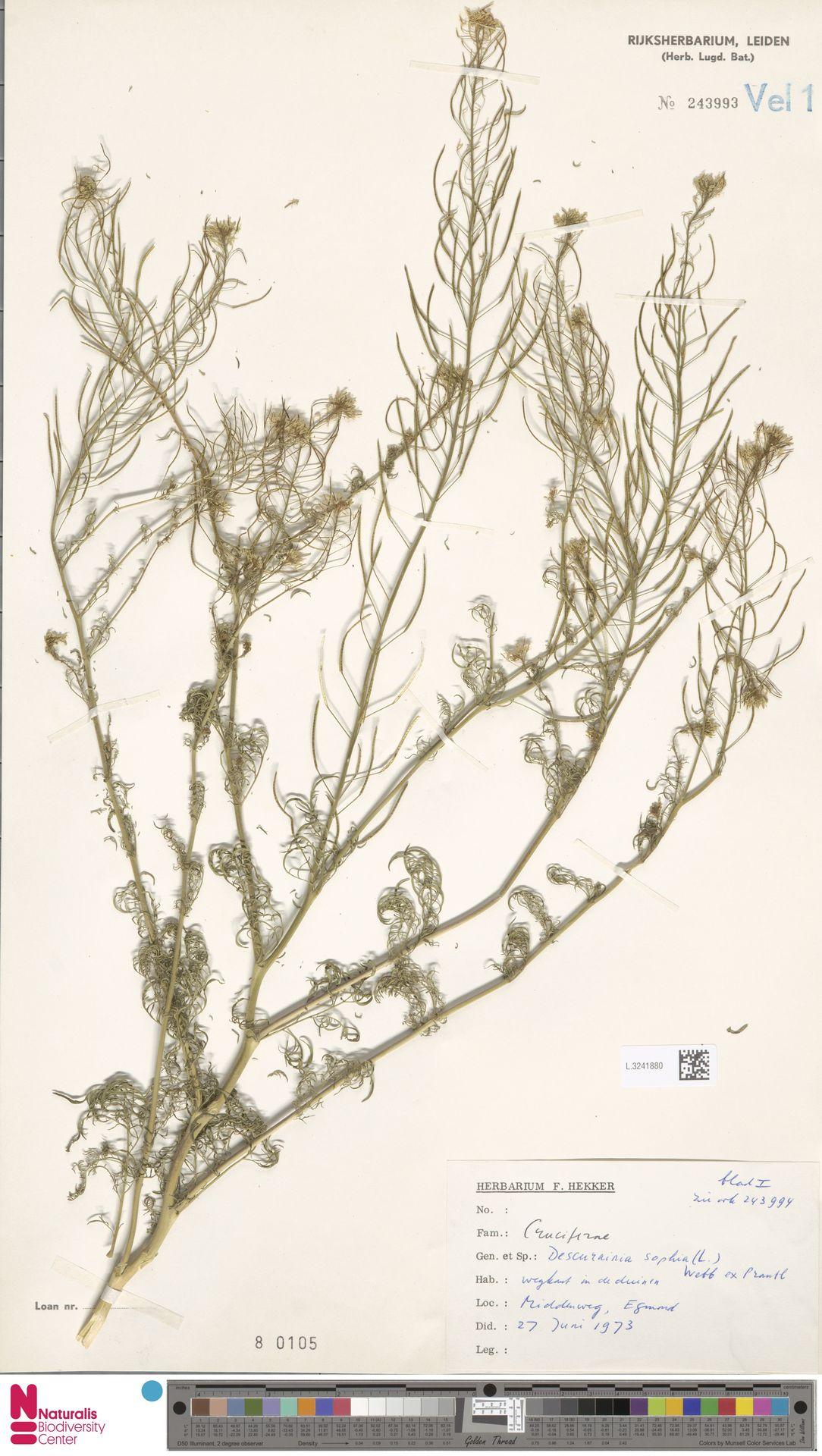 L.3241880 | Descurainia sophia (L.) Webb ex Prantl