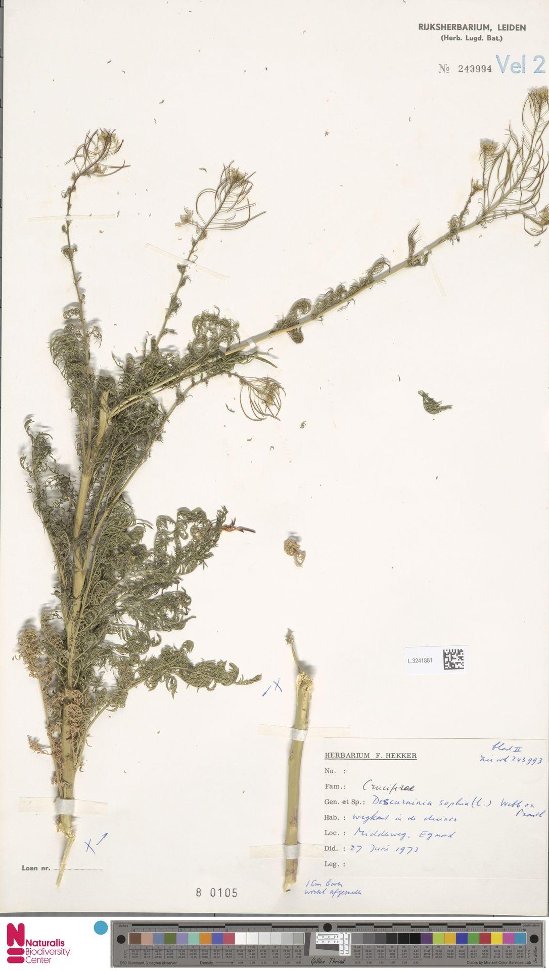 L.3241881 | Descurainia sophia (L.) Webb ex Prantl