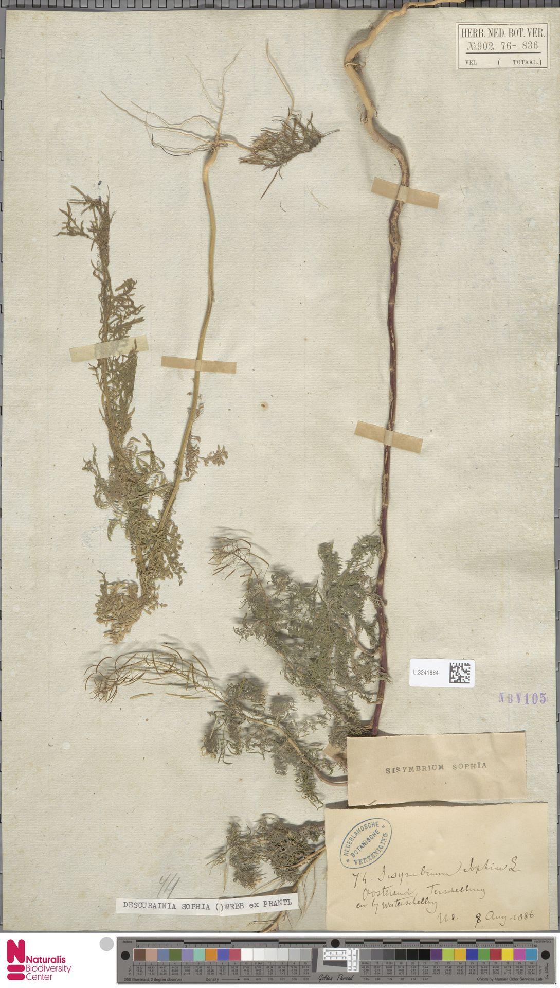L.3241884 | Descurainia sophia (L.) Webb ex Prantl