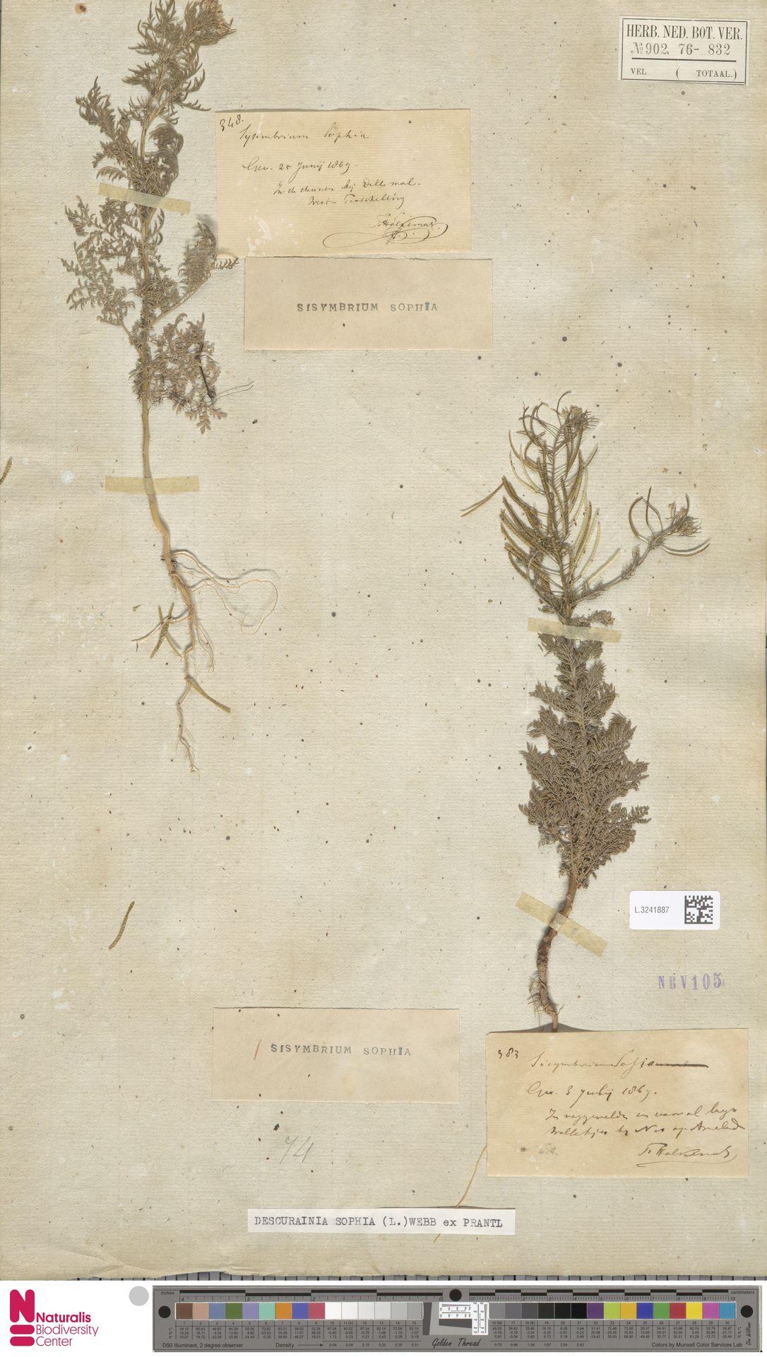 L.3241887 | Descurainia sophia (L.) Webb ex Prantl