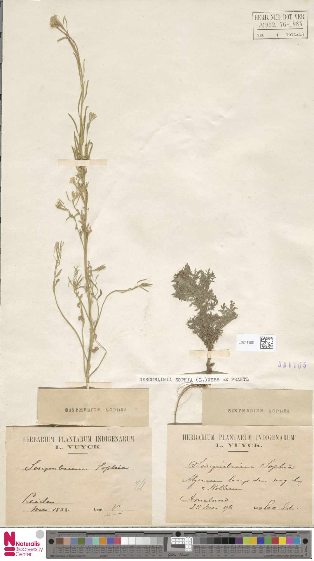 L.3241888 | Descurainia sophia (L.) Webb ex Prantl