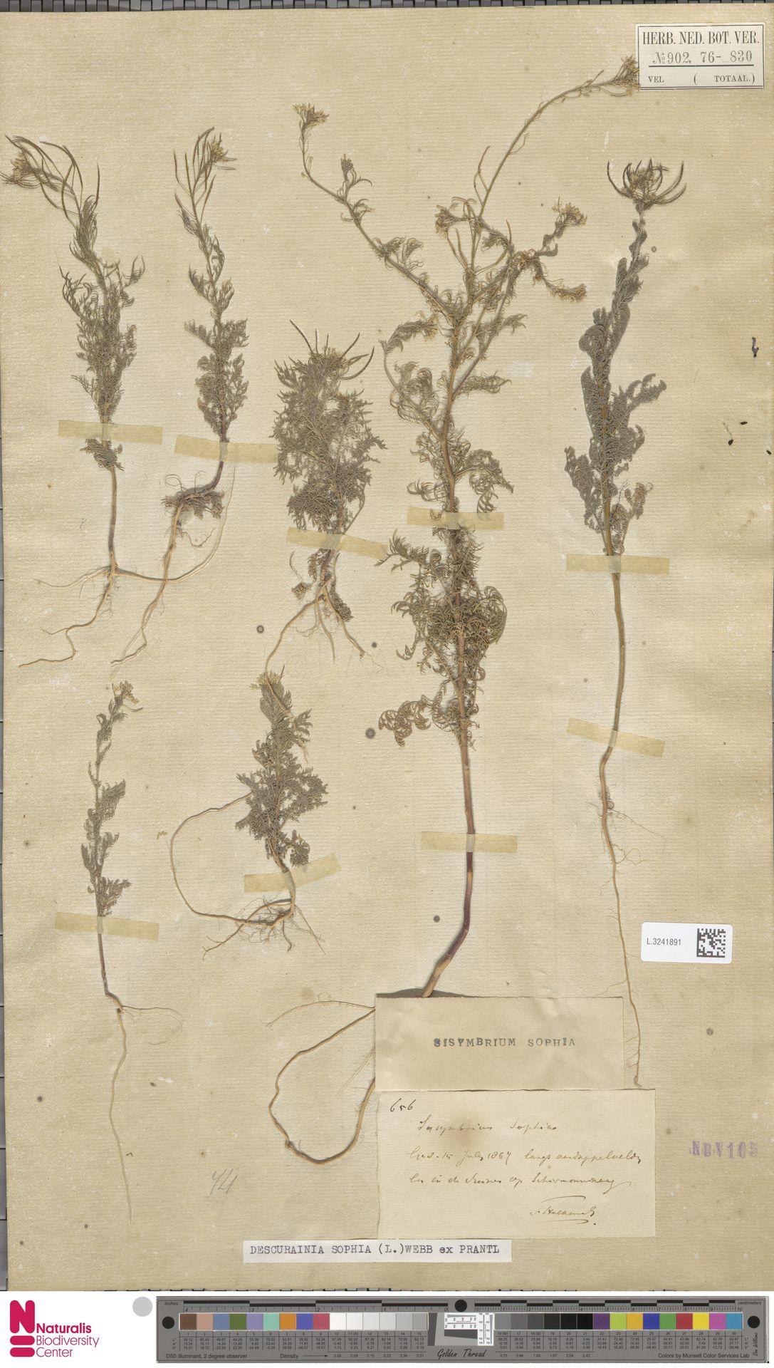 L.3241891 | Descurainia sophia (L.) Webb ex Prantl