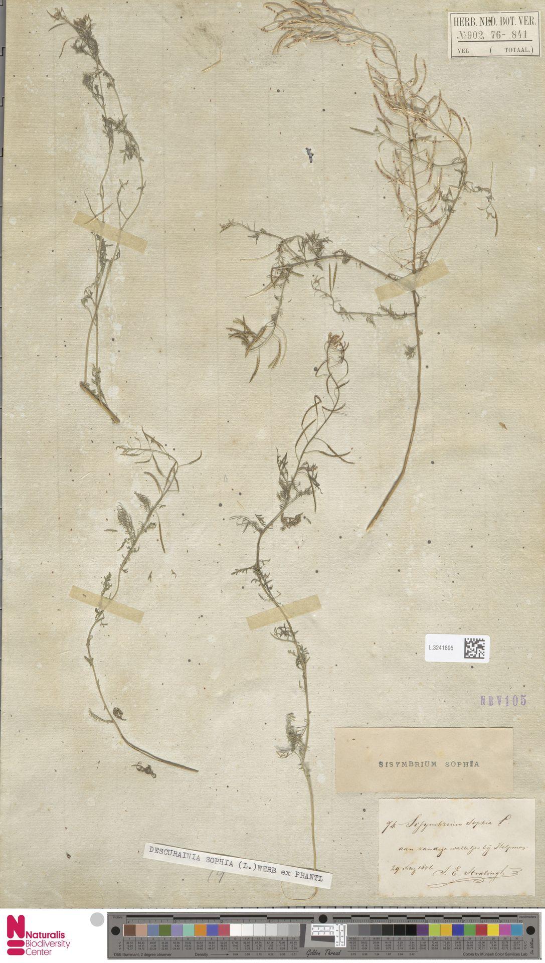 L.3241895 | Descurainia sophia (L.) Webb ex Prantl