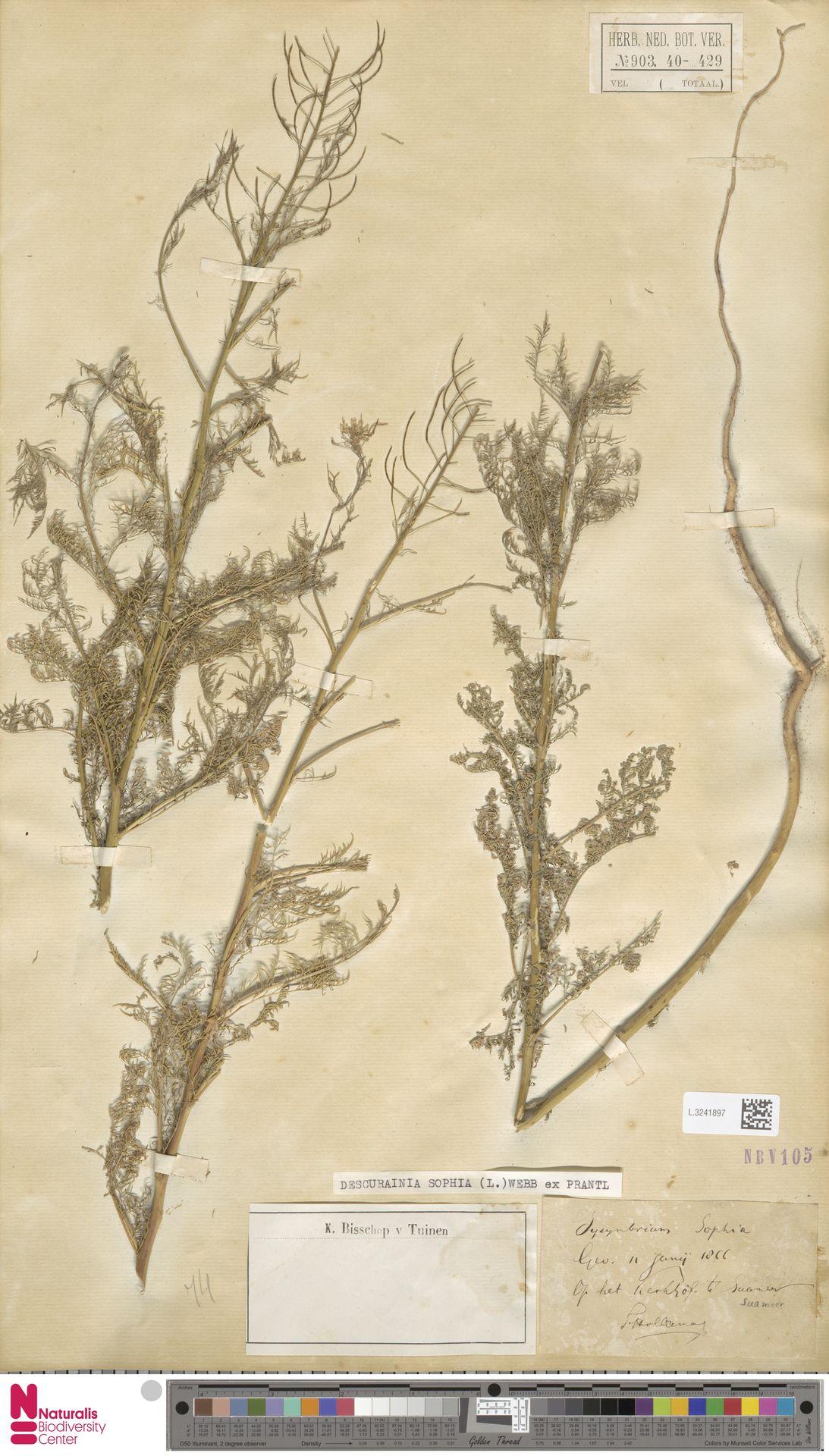 L.3241897 | Descurainia sophia (L.) Webb ex Prantl