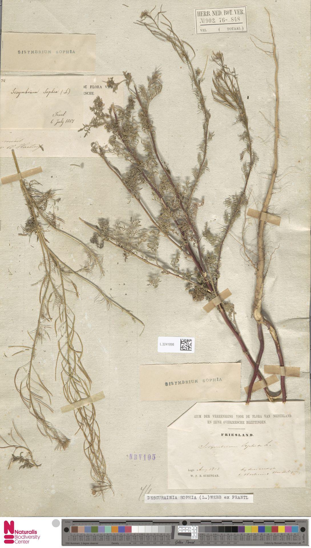 L.3241898 | Descurainia sophia (L.) Webb ex Prantl