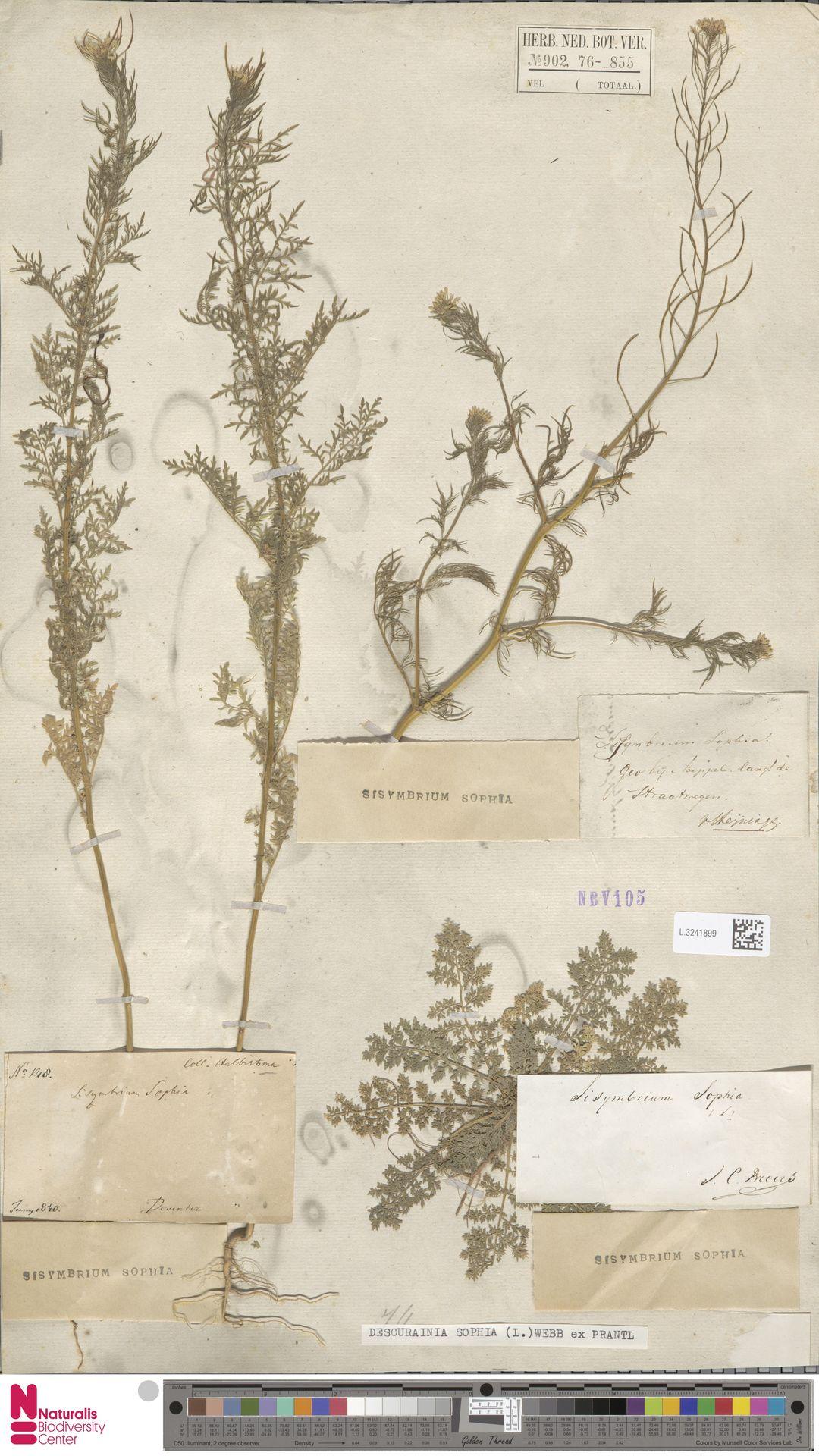 L.3241899 | Descurainia sophia (L.) Webb ex Prantl