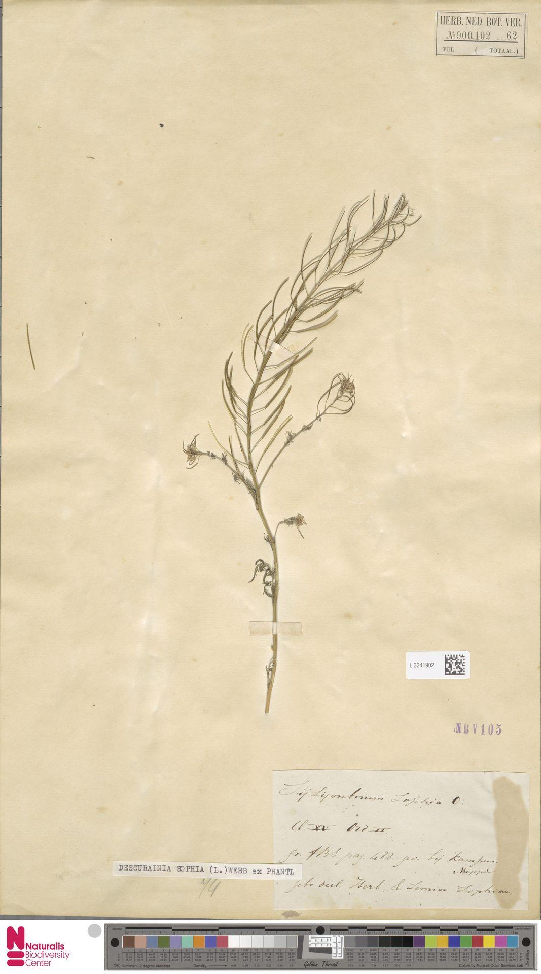 L.3241902 | Descurainia sophia (L.) Webb ex Prantl