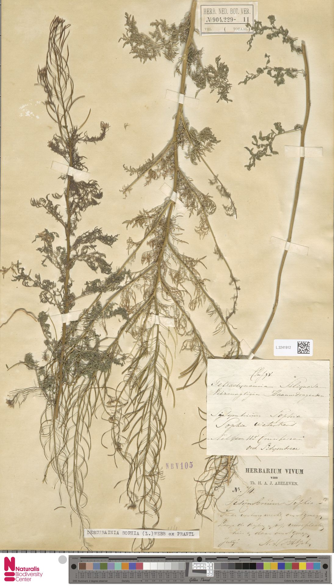 L.3241912 | Descurainia sophia (L.) Webb ex Prantl