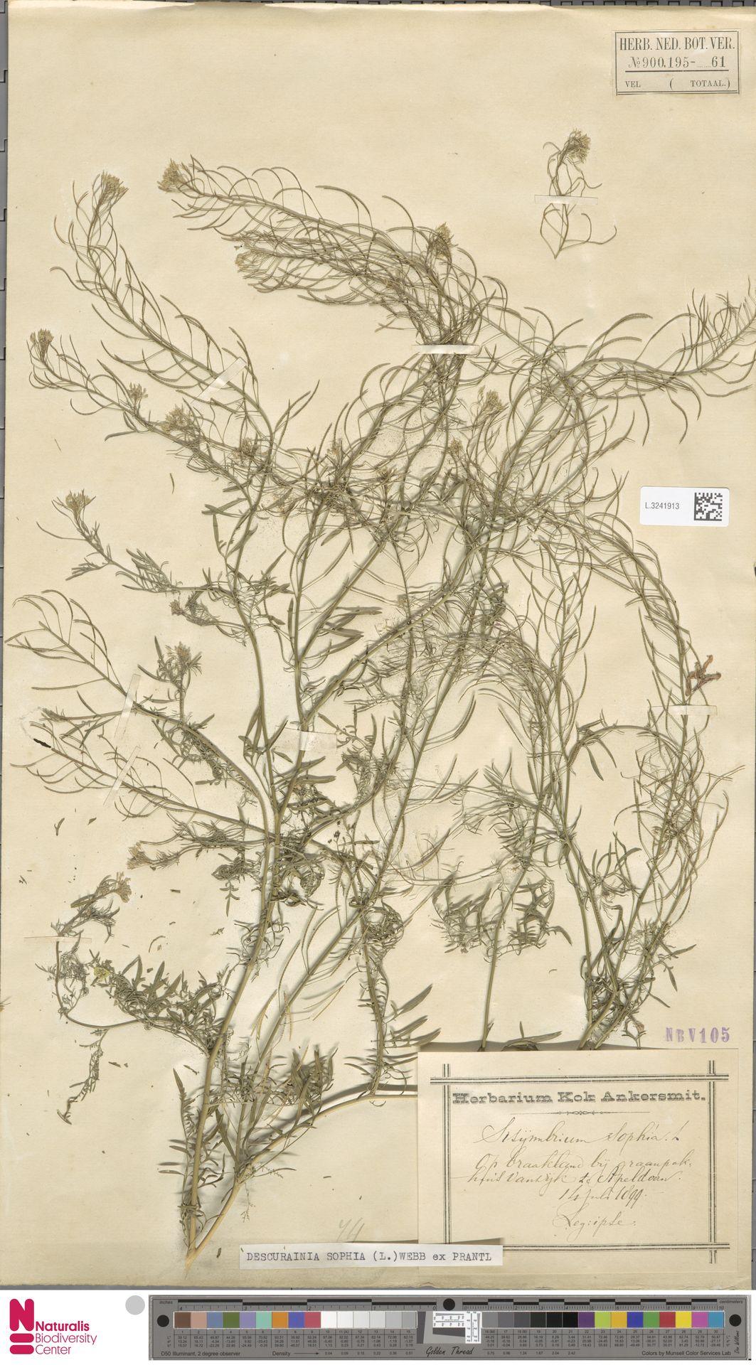 L.3241913 | Descurainia sophia (L.) Webb ex Prantl