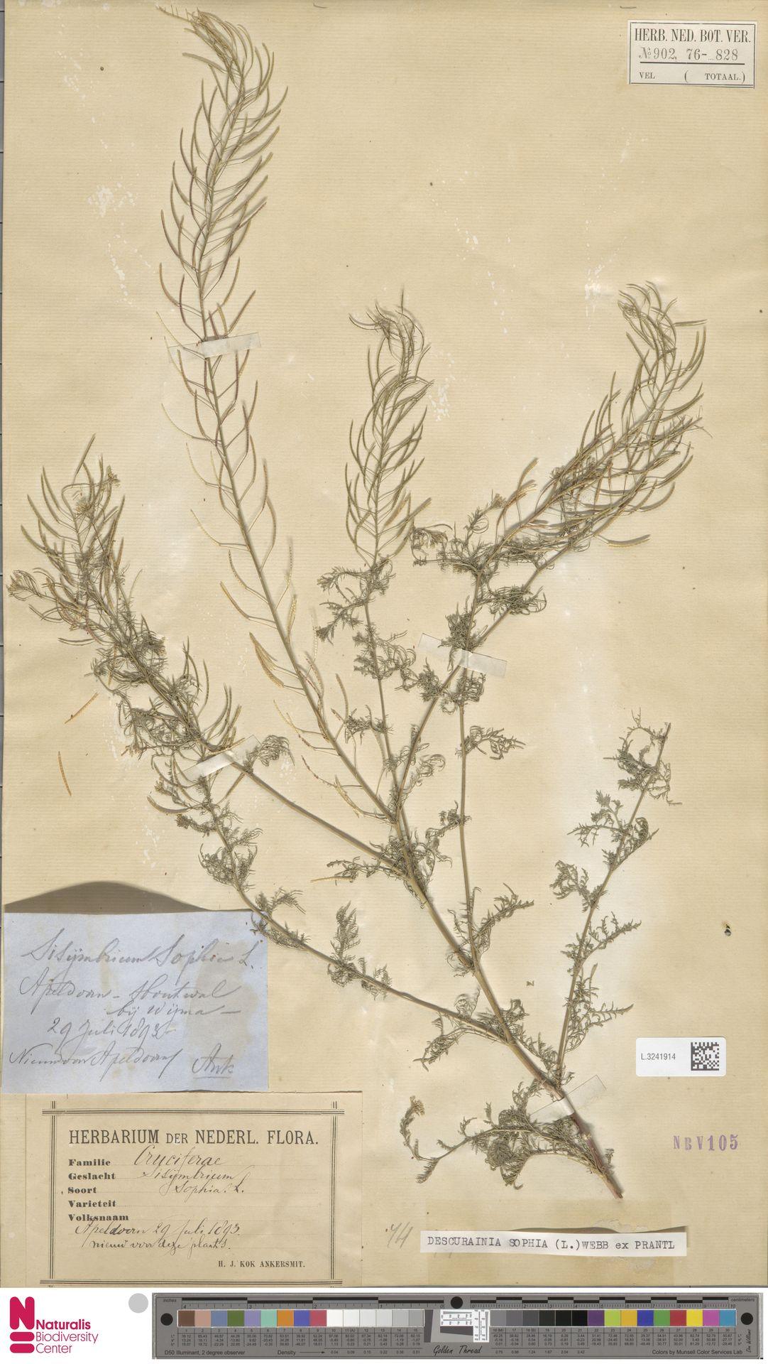 L.3241914 | Descurainia sophia (L.) Webb ex Prantl