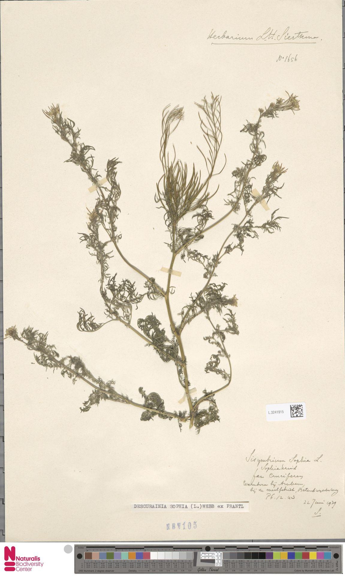 L.3241915 | Descurainia sophia (L.) Webb ex Prantl