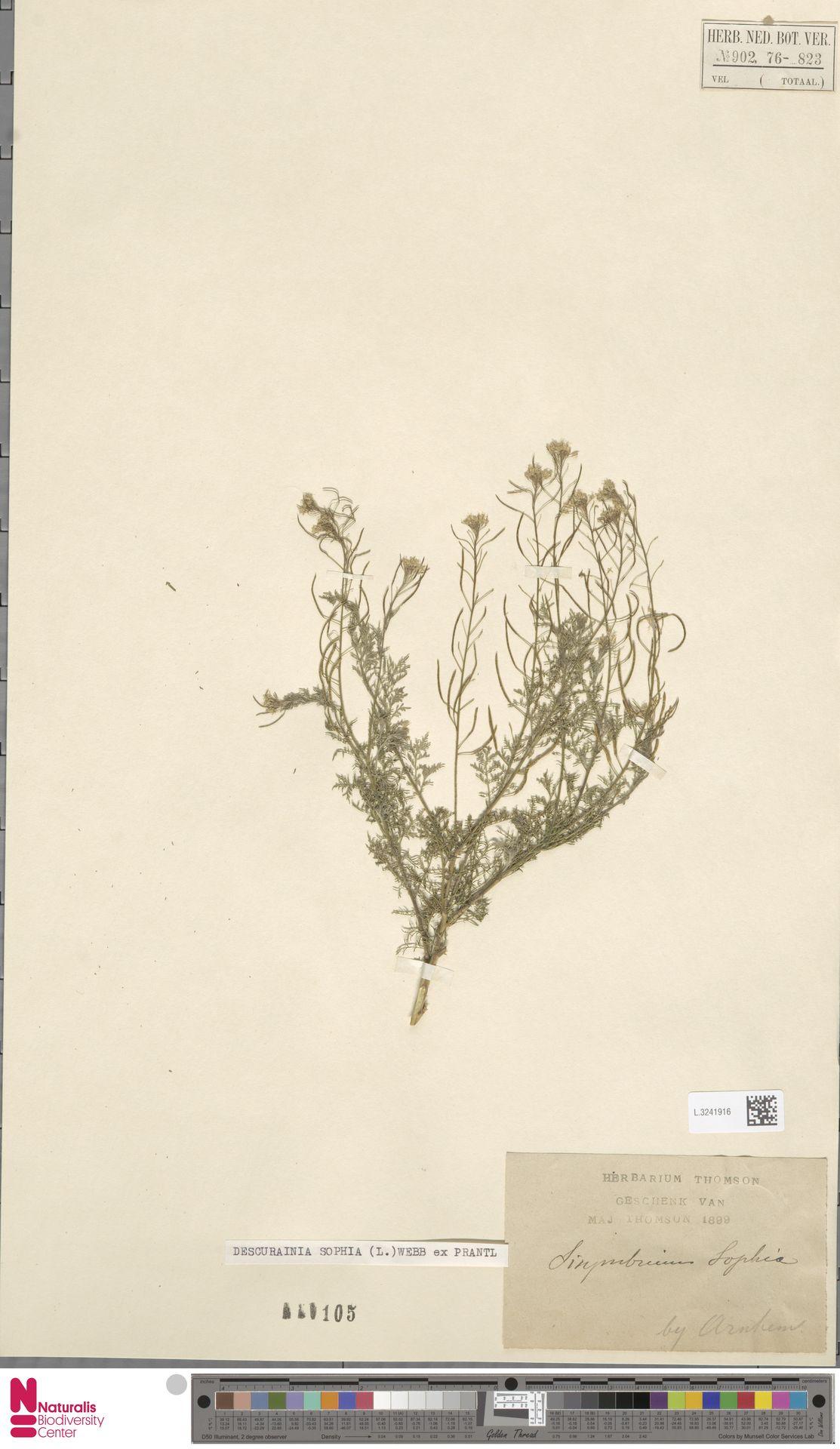 L.3241916 | Descurainia sophia (L.) Webb ex Prantl