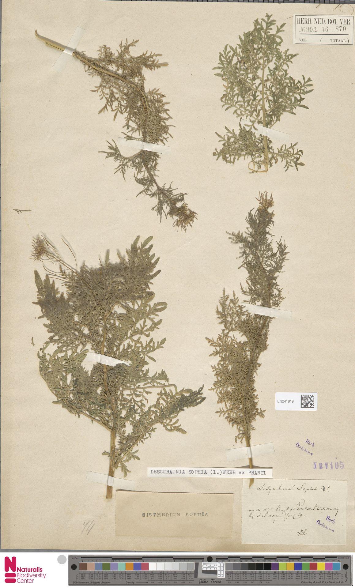 L.3241919 | Descurainia sophia (L.) Webb ex Prantl