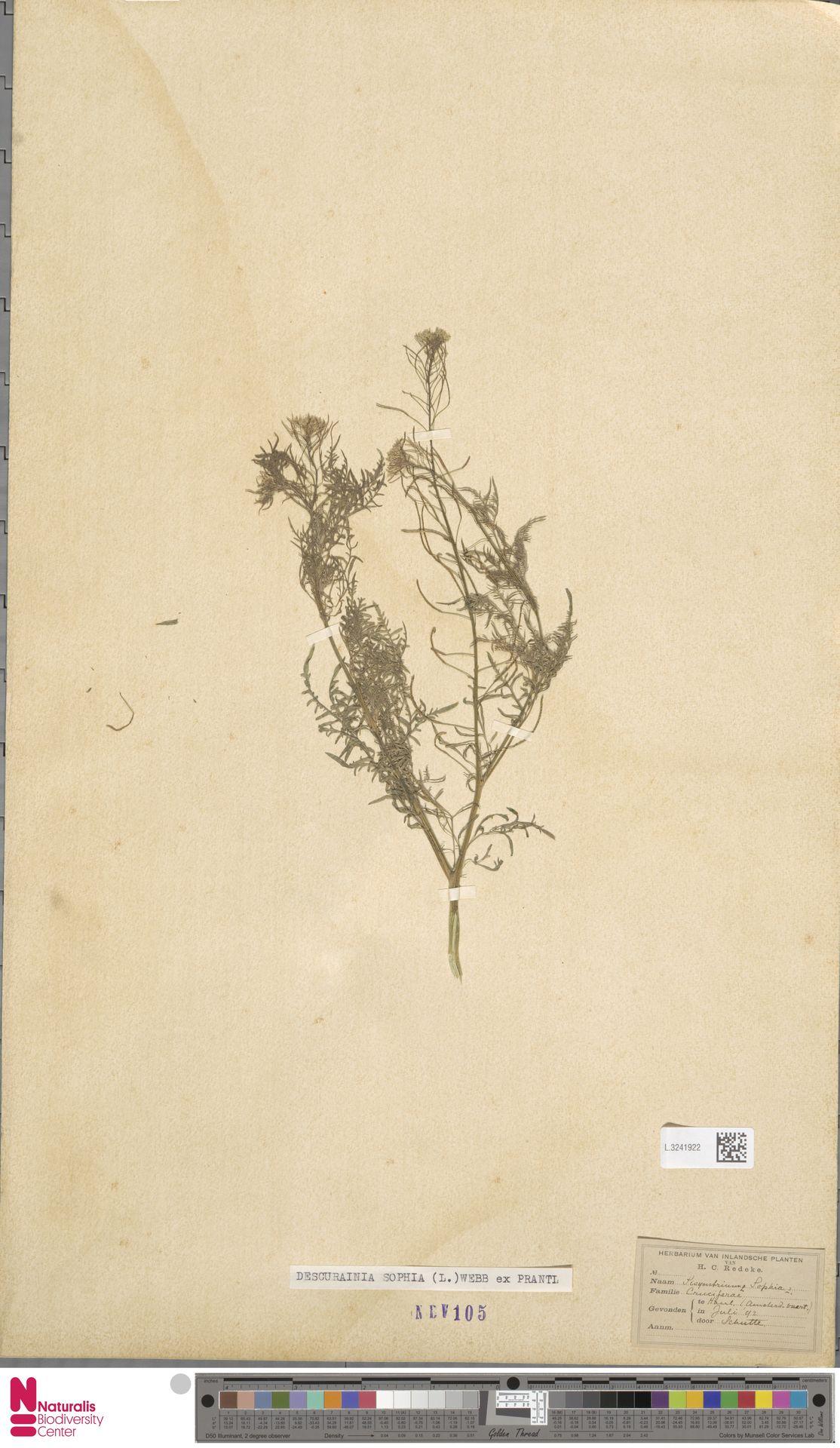 L.3241922   Descurainia sophia (L.) Webb ex Prantl