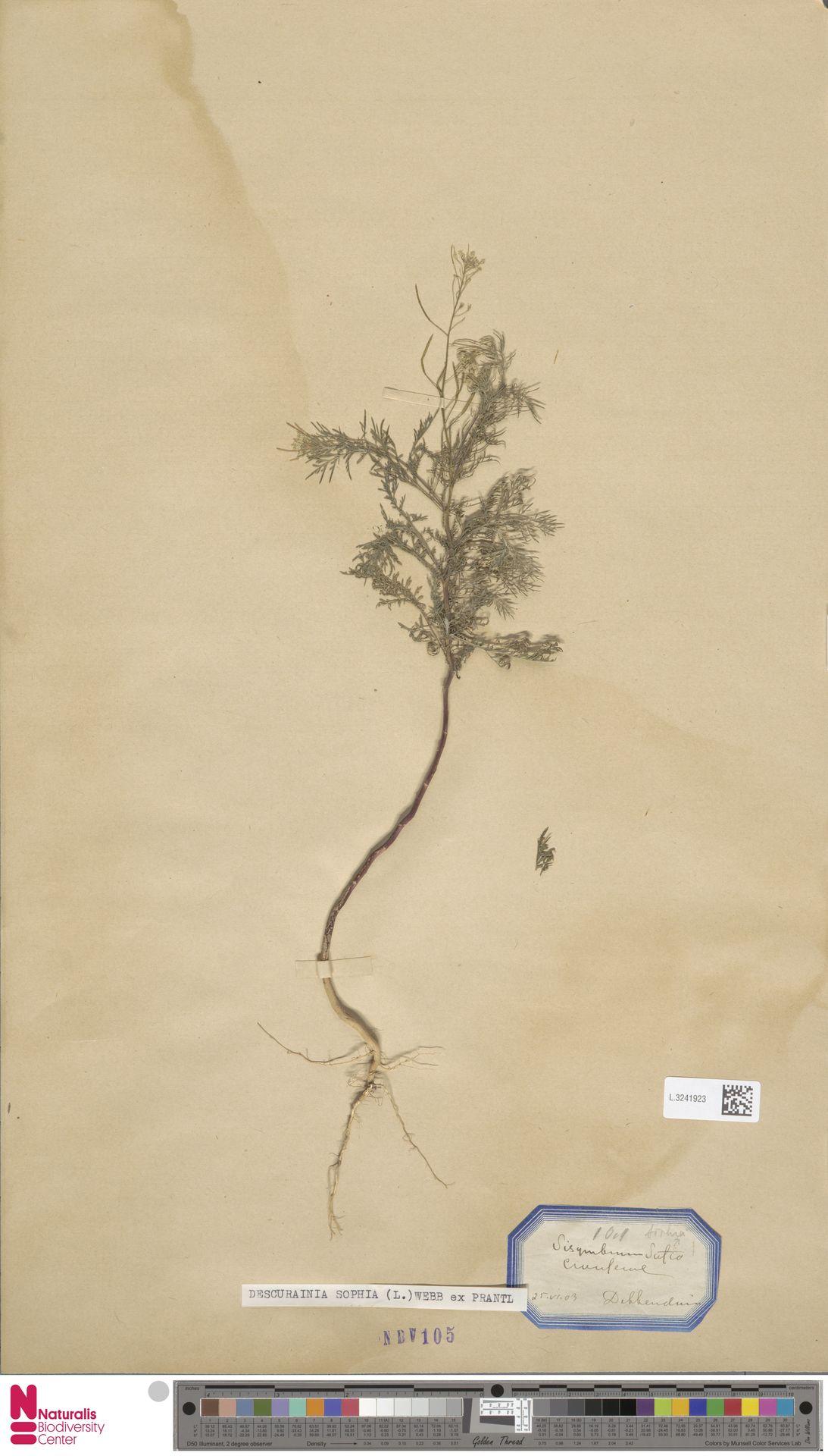 L.3241923 | Descurainia sophia (L.) Webb ex Prantl