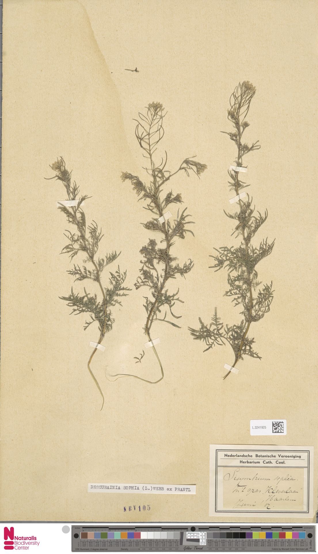 L.3241925 | Descurainia sophia (L.) Webb ex Prantl