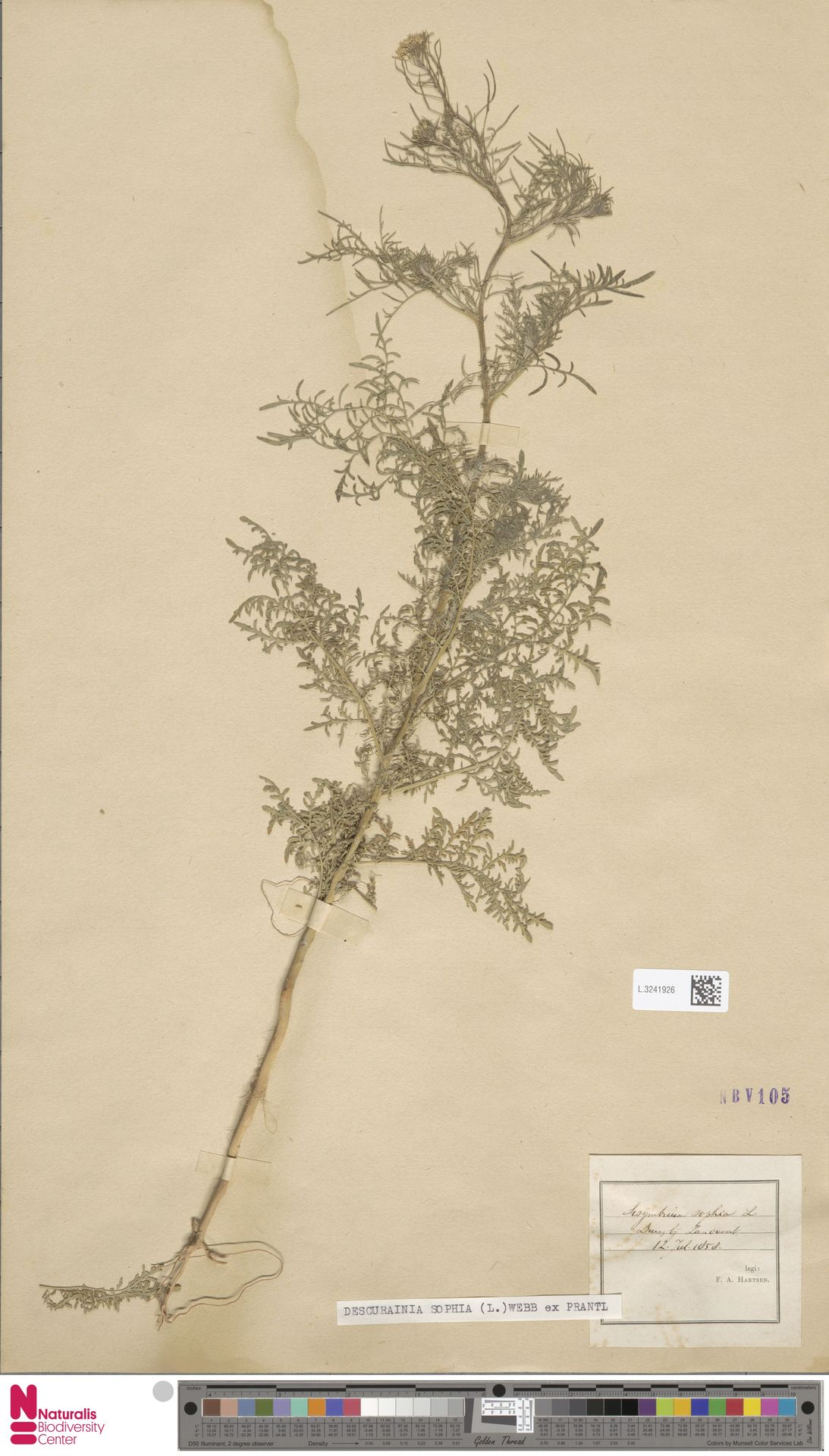L.3241926 | Descurainia sophia (L.) Webb ex Prantl