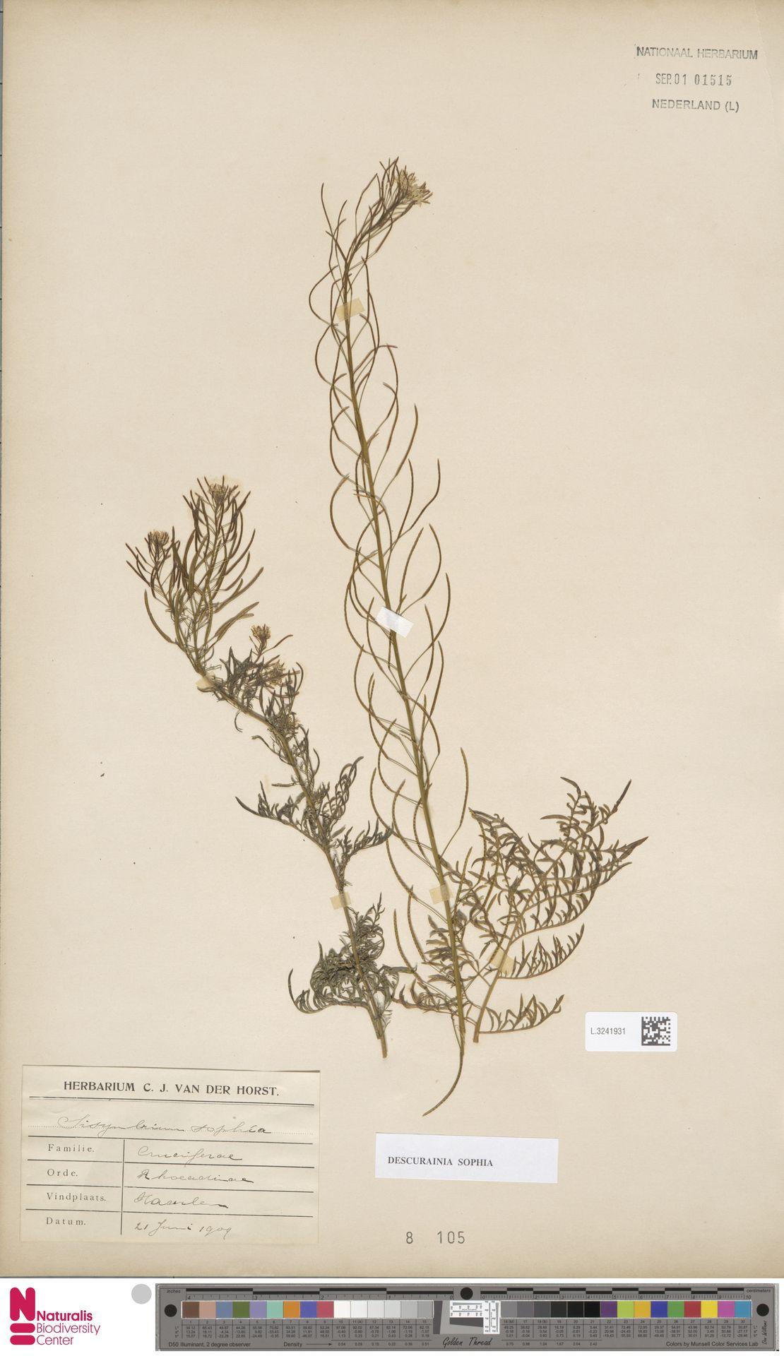 L.3241931 | Descurainia sophia (L.) Webb ex Prantl