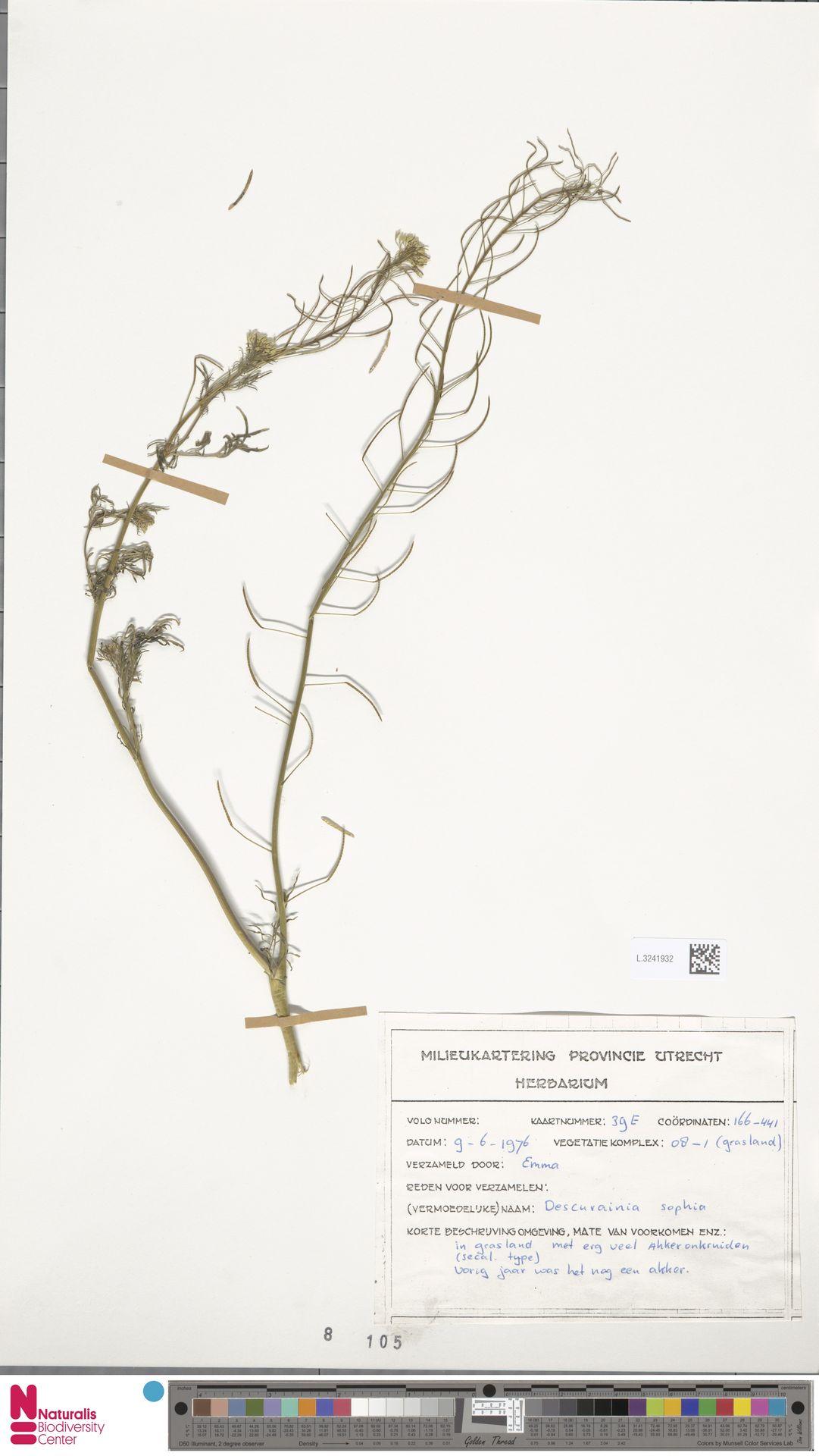 L.3241932 | Descurainia sophia (L.) Webb ex Prantl