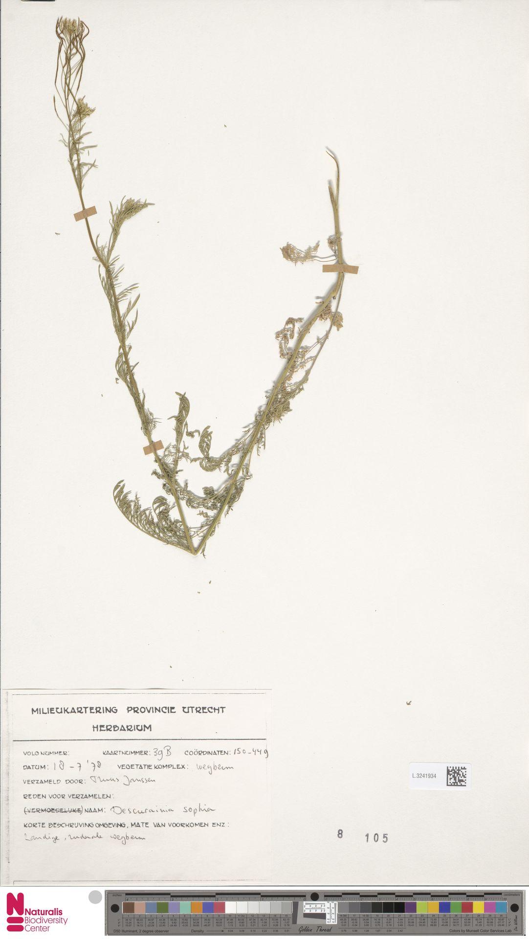 L.3241934 | Descurainia sophia (L.) Webb ex Prantl