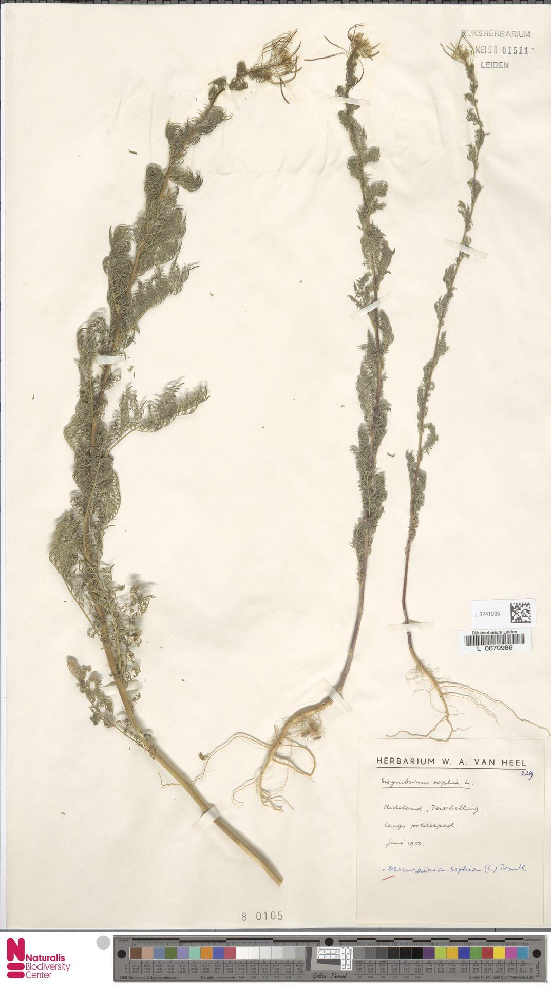 L.3241935 | Descurainia sophia (L.) Webb ex Prantl