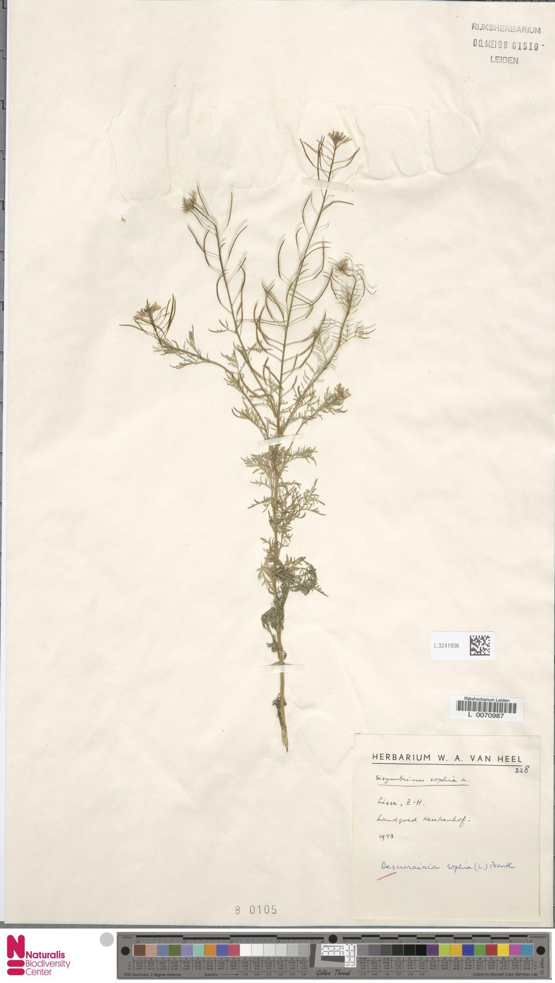 L.3241936 | Descurainia sophia (L.) Webb ex Prantl