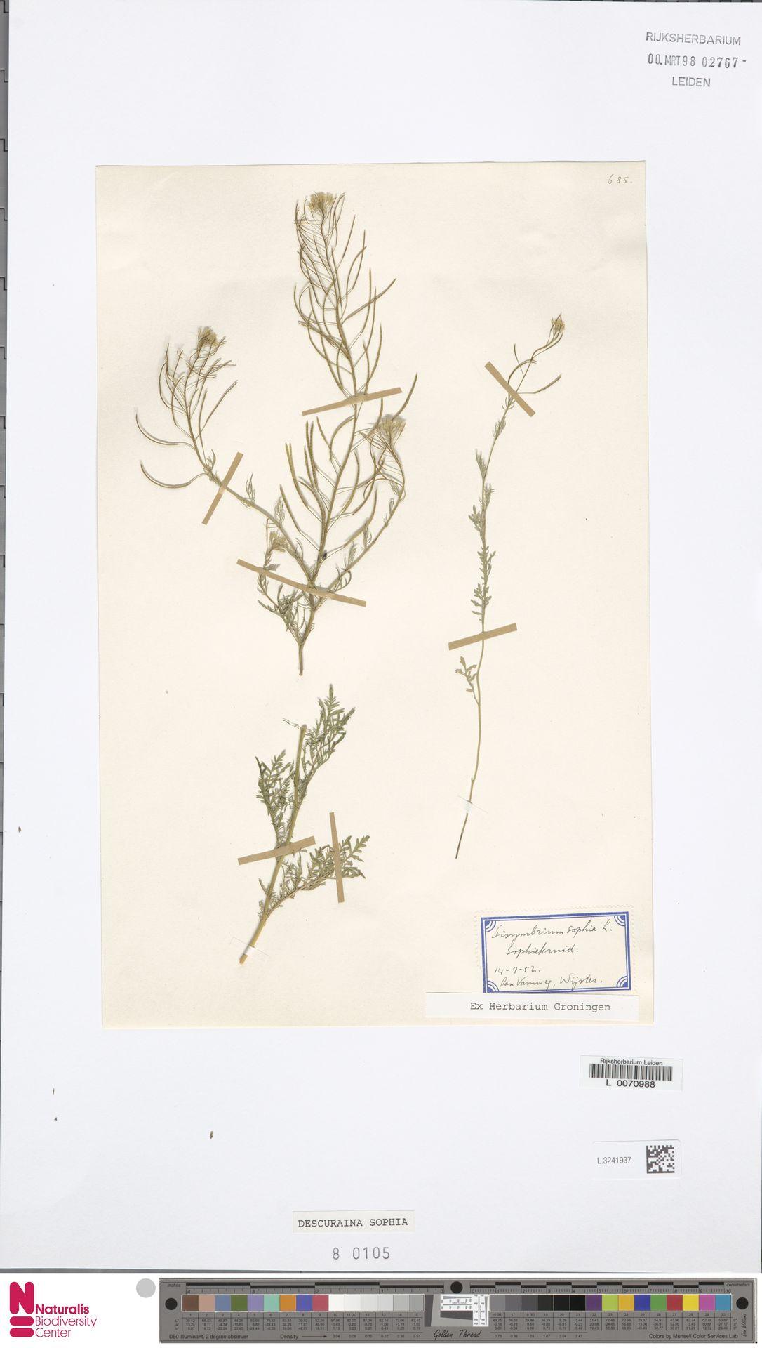 L.3241937 | Descurainia sophia (L.) Webb ex Prantl