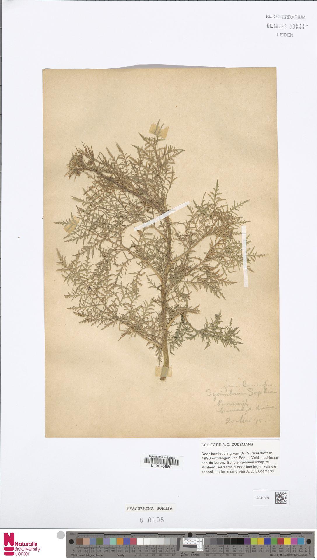L.3241938 | Descurainia sophia (L.) Webb ex Prantl