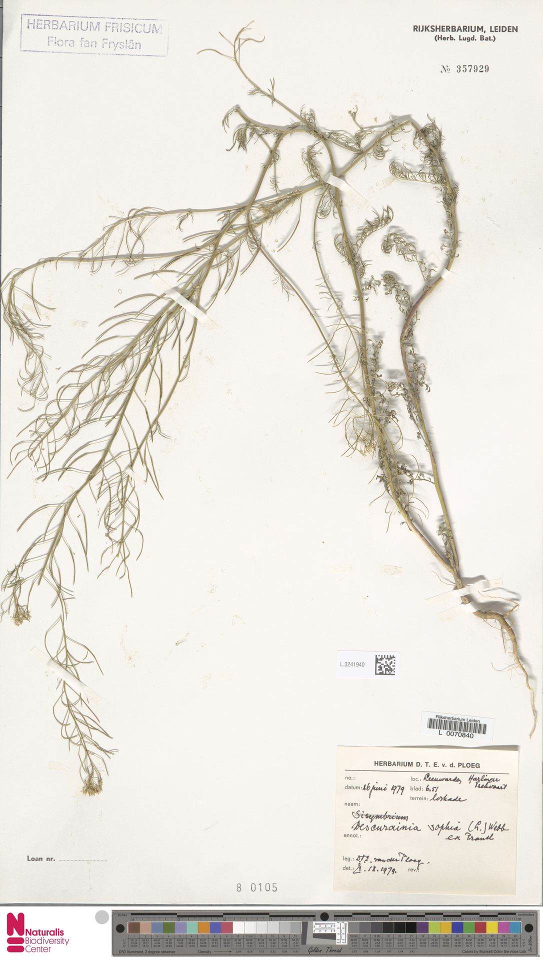 L.3241940 | Descurainia sophia (L.) Webb ex Prantl