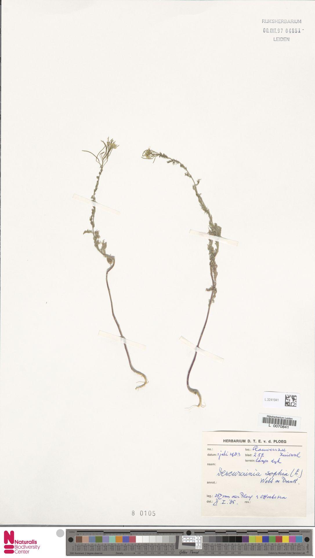 L.3241941 | Descurainia sophia (L.) Webb ex Prantl