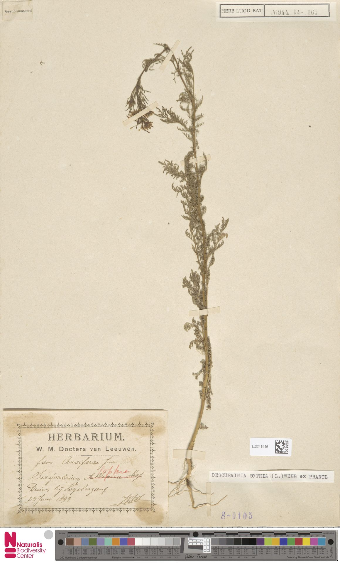 L.3241946 | Descurainia sophia (L.) Webb ex Prantl