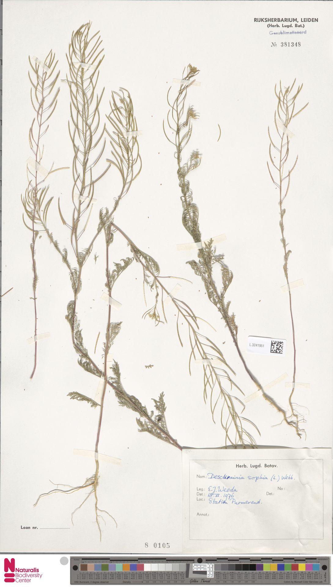L.3241951 | Descurainia sophia (L.) Webb ex Prantl