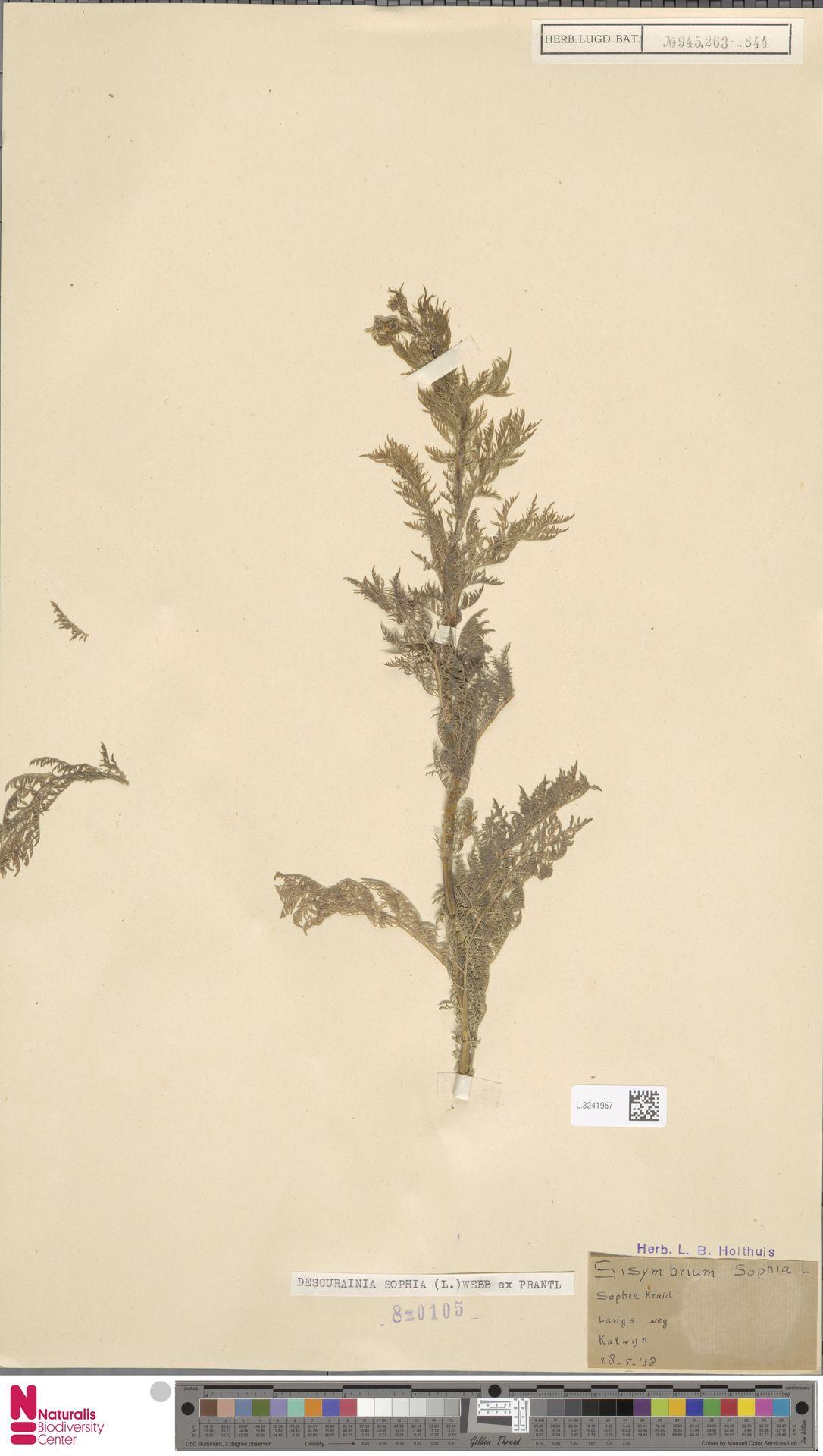 L.3241957 | Descurainia sophia (L.) Webb ex Prantl
