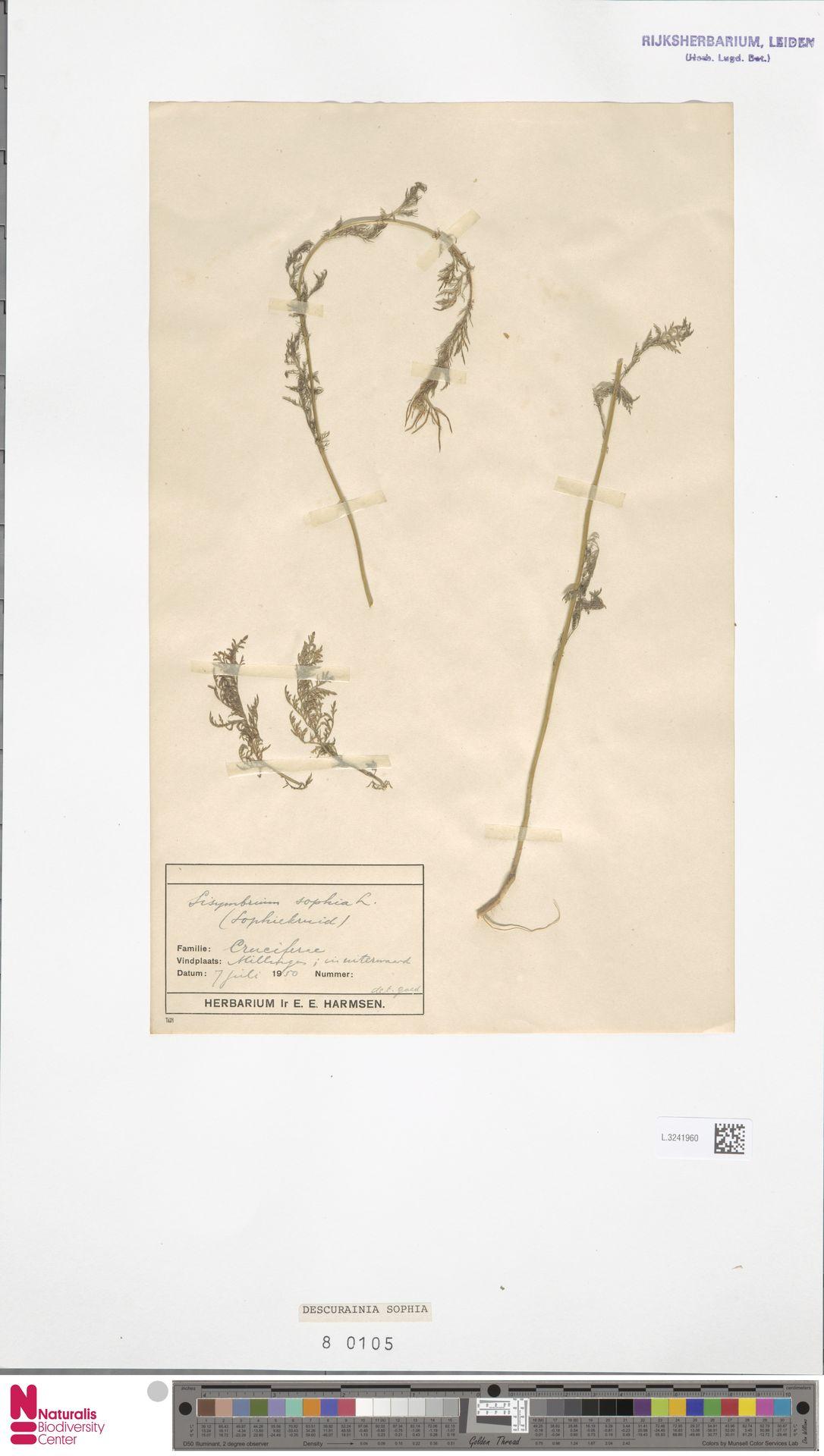 L.3241960 | Descurainia sophia (L.) Webb ex Prantl