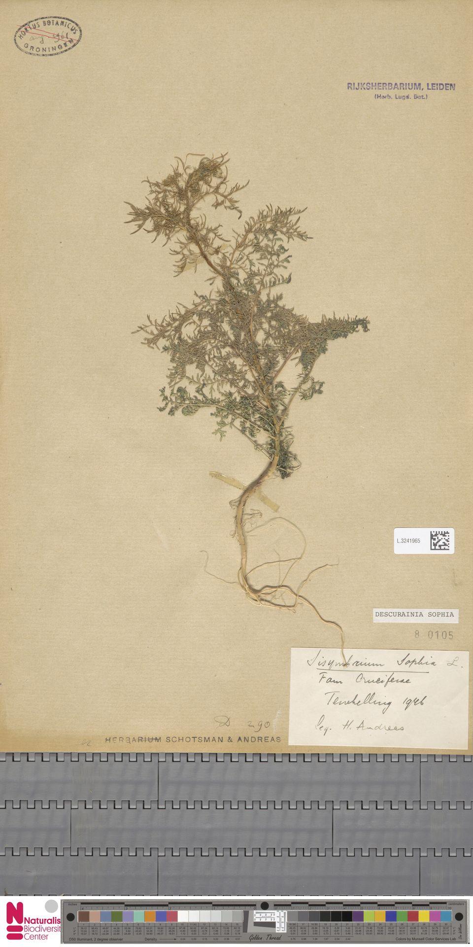 L.3241965 | Descurainia sophia (L.) Webb ex Prantl
