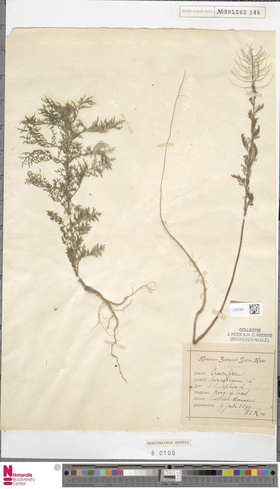 L.3241967 | Descurainia sophia (L.) Webb ex Prantl