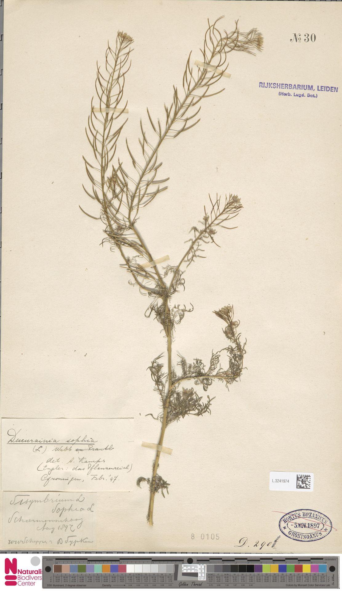 L.3241974 | Descurainia sophia (L.) Webb ex Prantl