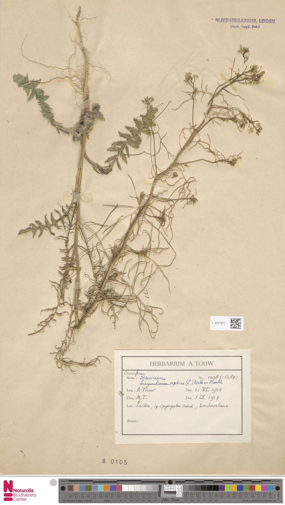 L.3241975   Descurainia sophia (L.) Webb ex Prantl
