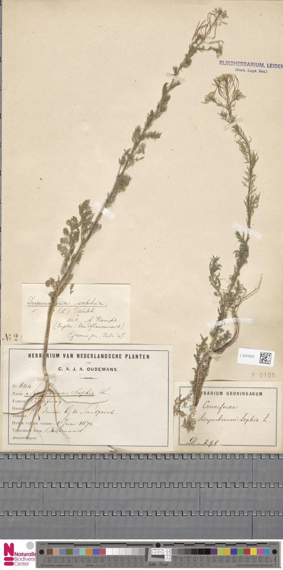 L.3241979   Descurainia sophia (L.) Webb ex Prantl